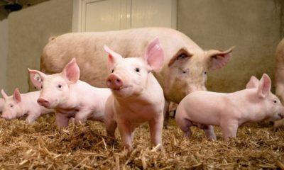 African Swine Fever kills 13,000 pigs in Assam